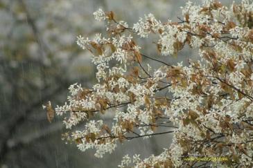 rain on May flowers